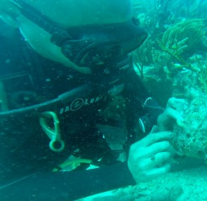 Nature Foundation Repopulates Corals on Depleted and Hurricane Damaged Reefs in Marine Park.