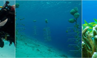 St Maarten, Saba and Statia to Give Boost to Coral Restoration initiatives in the Caribbean Through European Union Funded Program.