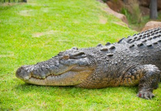 Large crocodile kept at private residence.