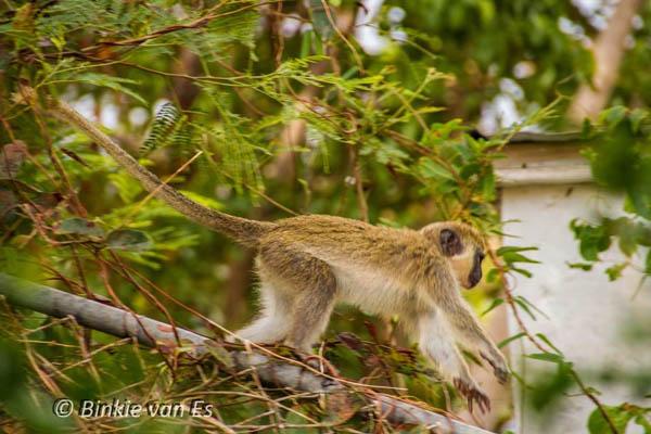 monkey27042015